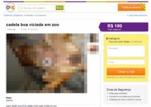 g n 352 3d9p - Anda: Investigação e Punição sobre o caso de zoofilia no site OLX